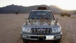 Les émirs arabes tuent l'outarde et la gazelle avec la bénédiction des autorités
