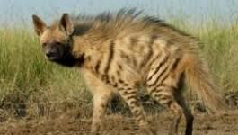 Nature : l'hyène rayée réapparaît dans la région de Batna