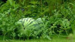 Du melon irrigué avec des eaux usées : 33 affaires devant la justice