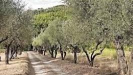 Les plantations d'oliviers ont triplé entre 2000 et 2012 en Algérie