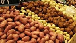 Pomme de terre : une semence 100% algérienne en 2014