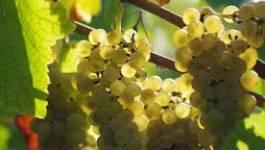 Des vignobles prometteurs prospèrent au sud de Ghardaïa