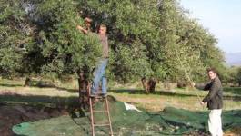 Kabylie : l'appel de l'olivier