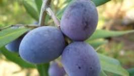 Bejaïa : une centaine d'exposants à la 17ème foire de l'olive