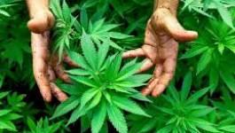 Le Maroc demeure le principal exportateur de cannabis en 2013