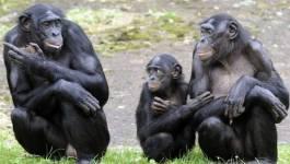 Les grands singes possèdent une mémoire cinématographique