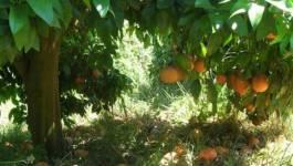 L'importation des agrumes interdite pendant leur récolte en Algérie