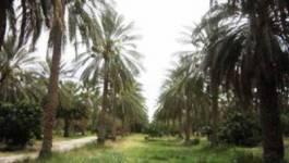 Biskra: Des palmeraies détruites par le feu
