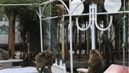 Bejaia : Le singe magot fait des ravages dans les vergers