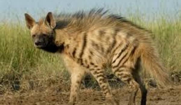 La hyène rayée est une espèce rare et difficilement observable.