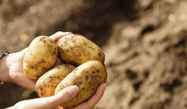La production de pomme de terre a enregistré un excédent de 300.000 tonnes