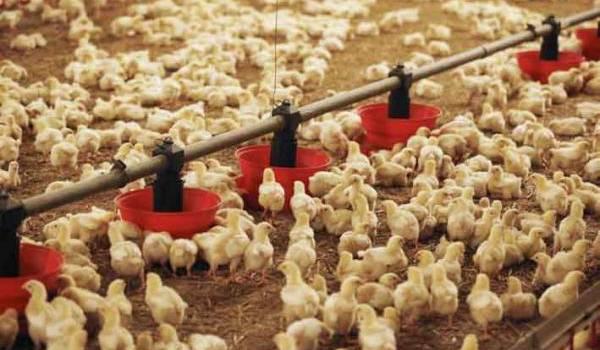 La filière avicole est mal organisée.