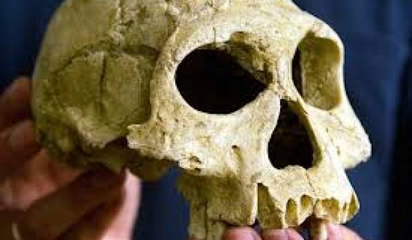 Crâne d'homo erectus