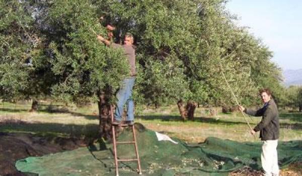 Le village kabyle de Tabourt fête l'olive