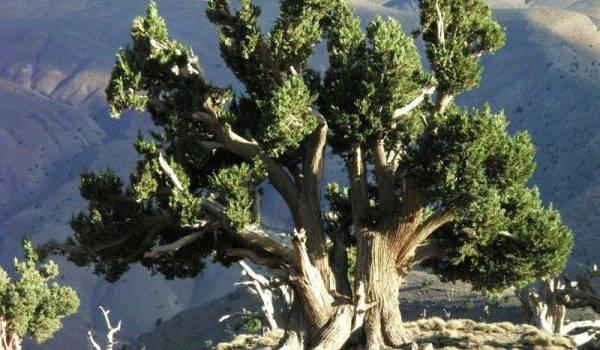 Appelé Aiwal ou Thazenzna en chaoui, le thurifère est l'objet de divers superstitions.