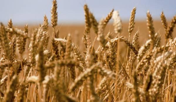 Les céréales reprennent de la couleur