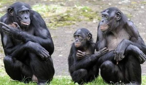 Les bonobos ont la mémoire cinématographique