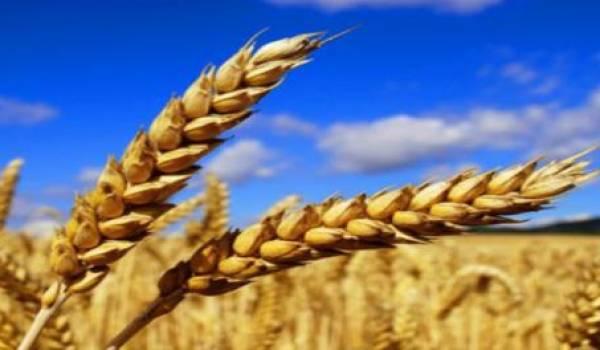 La production céréalière demeure en deçà de la consommation nationale.