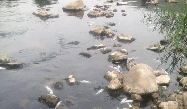 Des poissons qui agonisent sur l'eau de la Soummam. Photo prise cette semaine près de Sidi Aïch.
