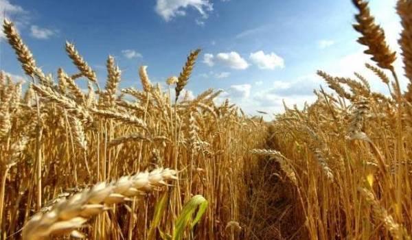 L'Algérie est l'un des plus importants importateurs de blé dur.