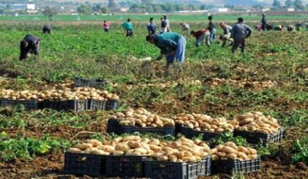 A la veille des élections, le gouvernement déstocke la pomme de terre pour faire baisser les prix