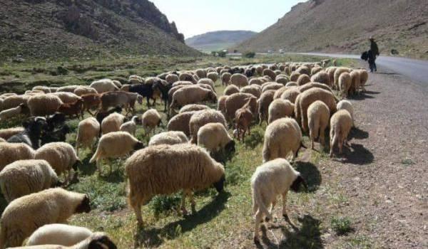 Le bétail est devenu la cible d'individus indélicats.