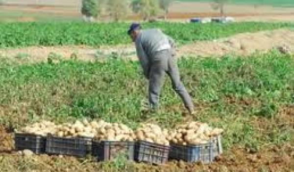 La production de pomme de terre est menacée.